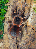 Brazilian Fire Red, One of the Biggest Tarantula Giants, Brazil, South America Photographic Print by Raj Kamal