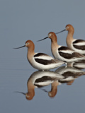 Three American Avocet (Recurvirostra Americana), Yellowstone National Park, Wyoming, USA Reproduction photographique par James Hager