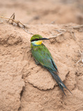 Swallowtailed Bee-Eater (Merops Hirundineus), Kgalagadi Transfrontier Park, South Africa, Africa Photographic Print by Ann & Steve Toon