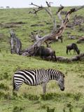 Common Zebra (Equus Quagga), Masai Mara, Kenya, East Africa, Africa Photographic Print by Sergio Pitamitz