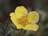 Shrubby Cinquefoil (Potentilla Fruticosa), Waterton Lakes National Park, Alberta, Canada Photographic Print by James Hager