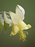Yellow Columbine (Aquilegia Flavescens), Glacier National Park, Montana, USA, North America Photographic Print by James Hager