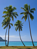 Palm Trees, Port Orly, Island of Espiritu Santo, Vanuatu, South Pacific, Pacific Fotografisk trykk av Michael Runkel