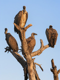 Whitebacked Vultures (Gyps Africanus), Kruger National Park Park, South Africa, Africa Photographic Print by Ann & Steve Toon