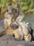 Chacma Baboons (Papio Cynocephalus Ursinus), Grooming, Kruger National Park, South Africa, Africa Photographic Print by Ann & Steve Toon