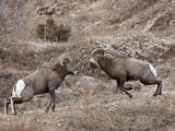 Two Bighorn Sheep (Ovis Canadensis) Rams Butting Heads, Clear Creek County, Colorado, USA Photographic Print by James Hager