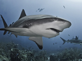Caribbean Reef Shark (Carcharhinus Perezii) Eating Lionfish (Pterois Volitans), Roatan, Honduras Photographie par Antonio Busiello