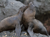 Galapagos Fur Seals (Arctocephalus Galapagoensi), Galapagos Is, UNESCO World Heritage Site, Ecuador Photographic Print by Michael Nolan