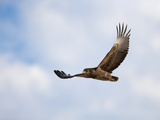 Tawny Eagle (Aquila Rapax) in Flight, Kgalagadi Transfrontier Park, South Africa, Africa Photographic Print by Ann & Steve Toon