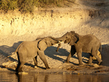 African Elephants (Loxodonta Africana) Touch Trunks, Chobe River, Eastern Caprivi Strip, Namibia Photographic Print by Kim Walker