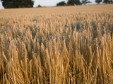 Close Up of Ripe Barley Crop in a Field, Near Sutton, Suffolk, England, United Kingdom, Europe Photographic Print by Ian Murray
