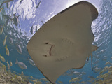 Stingray (Dasyatis Thetidis) from Below with the Sun Behind, Cozumel, Mexico, Caribbean Photographic Print by Antonio Busiello