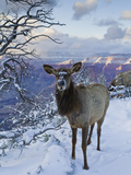 Elk (Cervus Canadensis) (Wapiti), Grand Canyon Nat&#39;l Park, UNESCO World Heritage Site, Arizona, USA Photographic Print by Michael Nolan