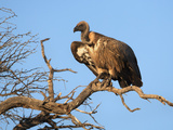 Whitebacked Vulture (Gyps Africanus), Kgalagadi Transfrontier Park, Northern Cape, South Africa Photographic Print by Ann & Steve Toon