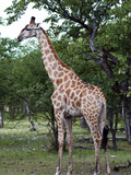 Giraffe (Giraffa Camelopardalis), Namibia, Africa Photographic Print by Nico Tondini