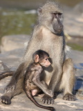Chacma Baboon (Papio Cynocephalus Ursinus), with Baby, Kruger National Park, South Africa, Africa Photographic Print by Ann & Steve Toon