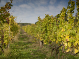 Vineyard Above Village of Vlcnov, Zlinsko, Czech Republic, Europe Photographic Print by Richard Nebesky