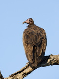 Hooded Vulture (Necrosyrtes Monachus), Kruger National Park, South Africa, Africa Photographic Print by Ann & Steve Toon