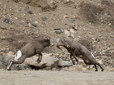 Two Bighorn Sheep (Ovis Canadensis) Rams Butting Heads, Clear Creek County, Colorado, USA Fotoprint van James Hager