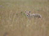 Coyote (Canis Latrans), Waterton Lakes National Park, Alberta, Canada, North America Photographic Print by James Hager