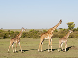 Giraffe (Giraffa Camelopardalis), Masai Mara, Kenya, East Africa, Africa Photographic Print by Sergio Pitamitz
