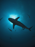 Caribbean Reef Shark (Carcharhinus Perezii) Swimming with Sun Seen from Below, Roatan, Honduras Photographic Print by Antonio Busiello