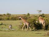 Giraffe (Giraffa Camelopardalis) and Common Zebra (Equus Quagga), Masai Mara, Kenya, Africa Photographic Print by Sergio Pitamitz