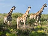 Giraffe (Giraffa Camelopardalis), Namibia, Africa Fotografiskt tryck av Nico Tondini