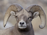 Bighorn Sheep (Ovis Canadensis) Ram Durng the Rut, Clear Creek County, Colorado, USA, North America Photographic Print by James Hager