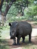 White Rhinoceros (Ceratotherium Simum), Namibia, Africa Photographic Print by Nico Tondini