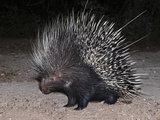 Porcupine (Hystrix Africaeaustralis), Limpopo, South Africa, Africa Photographic Print by Ann & Steve Toon