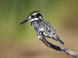 Pied Kingfisher (Ceryle Rudis), Intaka Island, Cape Town, South Africa, Africa Photographic Print by Ann & Steve Toon