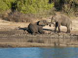 Elephants on the Banks of the Chobe River, Caprivi Strip, Namibia, Africa Photographic Print by Kim Walker