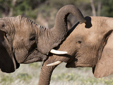 Desert Elephants (Loxodonta Africana), Huab River Valley, Torra Conservancy, Damaraland, Namibia Photographic Print by Sergio Pitamitz