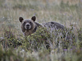 Grizzly Bear (Ursus Arctos Horribilis), Glacier National Park, Montana, USA, North America Photographic Print by James Hager