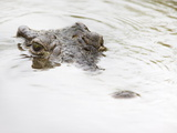 Nile Crocodile (Crocodylus Niloticus), Kruger National Park, South Africa, Africa Photographic Print by Ann & Steve Toon