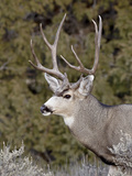 Mule Deer (Odocoileus Hemionus) Buck, Heron Lake State Park, New Mexico, USA, North America Photographic Print by James Hager