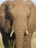African Elephant (Loxodonta Africana), Kruger National Park, South Africa, Africa Photographic Print by Ann & Steve Toon