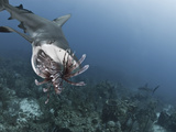 Caribbean Reef Shark (Carcharhinus Perezii) Eating Lionfish (Pterois Volitans), Roatan, Honduras Photographic Print by Antonio Busiello