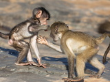 Baby Chacma Baboons (Papio Cynocephalus Ursinus), Playfighting, Kruger National Park, South Africa Photographic Print by Ann & Steve Toon