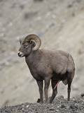 Bighorn Sheep (Ovis Canadensis) Ram with an Erection During Rut, Clear Creek County, Colorado, USA Photographic Print by James Hager