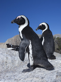 African Penguins (Spheniscus Demersus), Table Mountain National Park, Cape Town, South Africa Photographic Print by Ann & Steve Toon