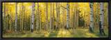 Aspen Trees in Coconino National Forest, Arizona, USA Leinwandtransfer mit Rahmung von  Panoramic Images