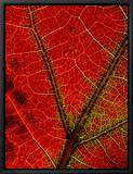 A Close View of the Veins of a Colorful Maple Leaf in Autumn Framed Canvas Print by George F. Mobley