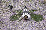 Super Bowl XLVII: Ravens vs 49ers - Chykie Brown Fotografisk trykk av Charlie Riedel