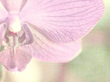Orchid's Softness Photographic Print by Doug Chinnery