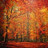 Röd november Fotoprint av Philippe Sainte-Laudy