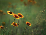 Indian Blankets Photographic Print by Ursula Abresch