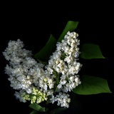 White Lilac 9 Photographic Print by Magda Indigo