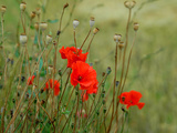 Poppies on Flanders Fields Photographic Print by Magda Indigo